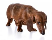 miniature smooth dachshund sniffing the ground on white background