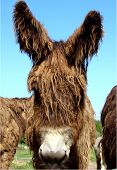 Baudet de Poitou Donkey