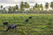 Tropical Cattle Scene