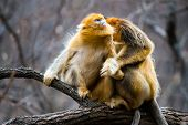 pic of lice  - Two golden monkey sit on the tree enjoy catching lice for each other - JPG