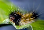 picture of green caterpillar  - Closeup view of a caterpillar eating a green leaf - JPG
