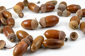 pic of acorn  - A bunch of acorns on a white background - JPG