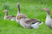 Grey domestic geese on the green grass