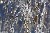 Rime Birch Branches