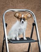 Papillon Puppy Sitting On A Stepladder