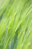 Green Wheat Spikelets