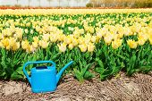 Bright yellow tulip field with blue water pot