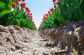 Close view from earth ground of orange tulips