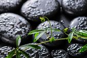foto of tendril  - beautiful spa concept of green twig passionflower with tendril on zen basalt stones with dew closeup - JPG