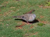 An Australian crested pigeon