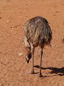 An Australian emu on the red earth