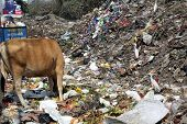 KOLKATA, INDIA - FEBRUARY 09, 2014: Streets of Kolkata. Animals in trash heap in Kolkata, India on February 09, 2014.