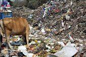 KOLKATA, INDIA - FEBRUARY 09, 2014: Streets of Kolkata. Animals in trash heap in Kolkata, India on February 09, 2014.