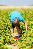 Young Boy Picking Strawberries