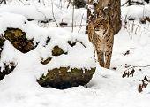 pic of bobcat  - Bobcat winter in their natural habitat - JPG