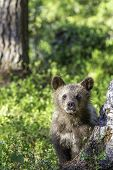 Brown Bear Cub (ursus  Arctos) Watchful In The Forest