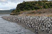 Penguin colony on the seashore of Beagle Channel, Tierra Del Fuego, Argentina