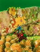 picture of plankton  - Peacock Mantis Shrimp on a tropical coral reef during a plankton bloom - JPG