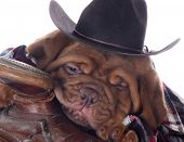 cute puppy - dogue de bordeaux puppy wearing western clothes and hat sleeping in a saddle on white background - 5 weeks old