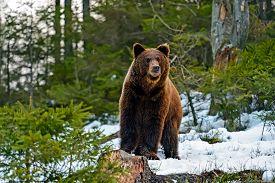stock photo of omnivore  - Brown bear in the woods in winter - JPG
