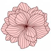 picture of begonias  - Pink Begonia flower drawing on white background - JPG