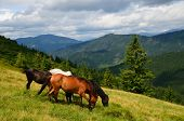 foto of feeding horse  - Well fed horses on the mountain pasture feeding on the grass field - JPG