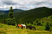 stock photo of feeding horse  - Well fed horses on the mountain pasture feeding on the grass field - JPG