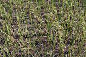 stock photo of ifugao  - Rice on the field in Batad near Banaue - JPG