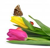 picture of ladybug  - Purple and yellow tulips with butterfly and ladybug - JPG