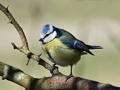 pic of tit  - Blue Tit resting on a branch in its natural habitat - JPG