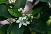 image of orange blossom  - Orange blossoms tree in early spring - JPG