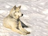 picture of siberian husky  - Siberian Huskies in nursery for dogs on Kamchatka - JPG