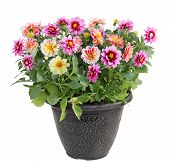 pic of plant pot  - Colorful dahlia flower plant in pot isolated on white background - JPG