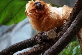stock photo of marmosets  - A golden lion tamarin - JPG