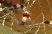 Banded Coral Shrimp (Stenopus hispidus)
