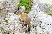 Постер, плакат: Alpine Marmot