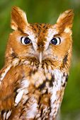 picture of screech-owl  - Screech Owl Looking Right Into Camera Lense - JPG