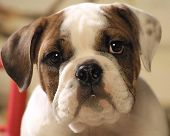 stock photo of puppy dog face  - Baby face with deep brown eyes of a bull dog puppy - JPG