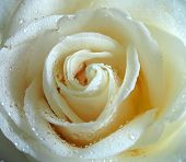 stock photo of white roses  - White rose, macro