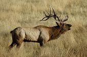 Bull elk bugling2