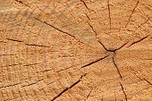 Tree Rings Mark Time Passage