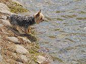 Yorkie at the lake