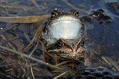 Постер, плакат: Copulation Of The Common Frog rana Temporaria Mating Also Known As The European Common Frog Euro