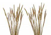 Beach Grass (ammophila Arenaria)