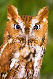 stock photo of screech-owl  - Screech Owl Looking Right Into Camera Lense - JPG