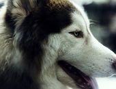 Siberian husky mammal pet poster