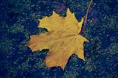 Autumn Leaves In Autumn Colors And Lights. Rainy Autumn Weather. poster
