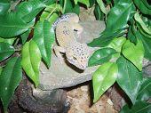 Leopard Gecko In Habitat