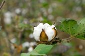 Cotton Boll Closeup With Leaves