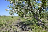 Blooming Apple Orchard. Adult Trees Bloom In The Apple Orchard. poster